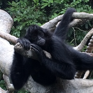 Depressed Spider Monkey